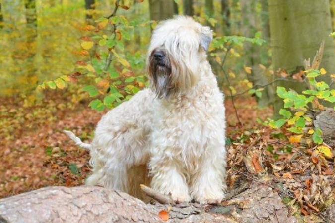 Soft Coated Wheaten Terrier Club Of Great Britain The Dog Lover Show